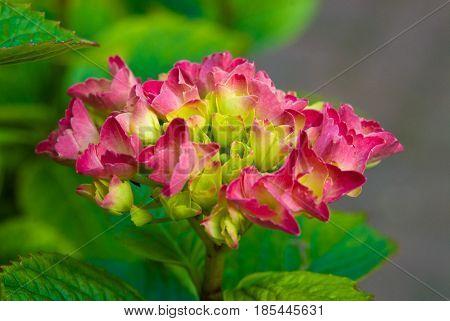 Pink hydrangea blossom flower fresh green summer