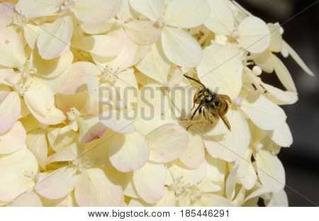 Wasp yellowjacket on white summer hydrangea blossom