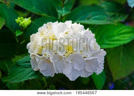 White hydrangea blossom flower fresh green summer_