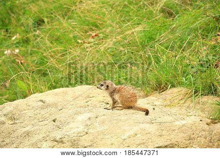 Tiny meerkat also known as suricate Suricata suricatta carnivoran belonging to the mongoose family; sitting on rock with grass in background