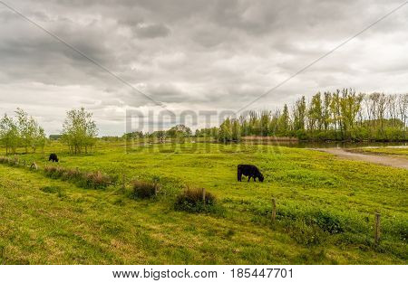 A cloudy sky and two dark brown grazing Galloway cattle in a small Dutch nature reserve in the spring season.