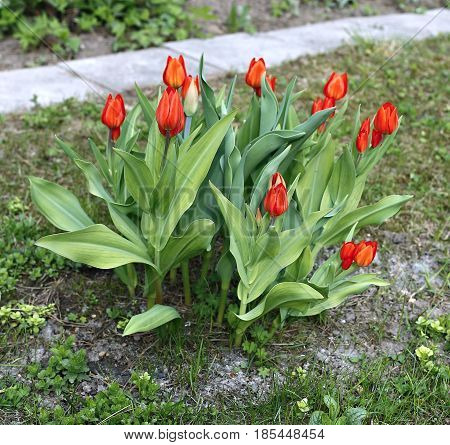 Beautiful red tulips on a lawn in early spring
