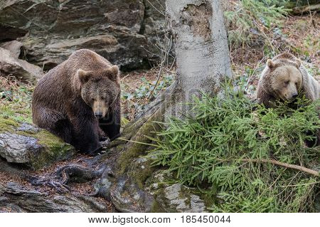 Brown bear couple. Two brown bears in the forest. Big Brown Bear. Ursus arctos.