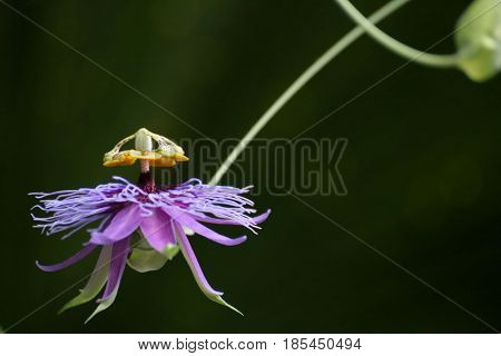 Blossom Of A Passion Flower Species (passiflora Amethystina)