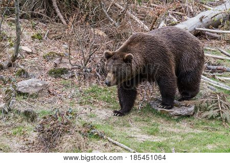 Big bear bear brown in the woods. Brown Bear. Ursus arctos.