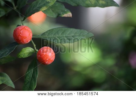 Solanum Pseudocapsicum, Commonly Known As The Jerusalem Cherry, With Fruits