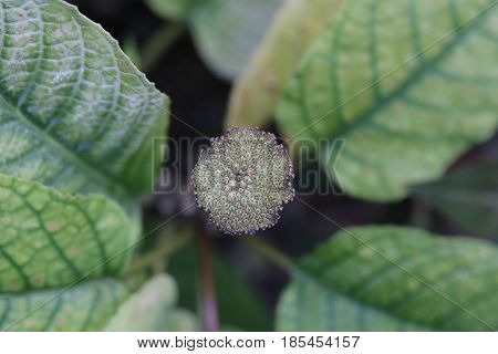Dorstenia Bahiensis, A Plant Species From The Mulberry Family (moraceae)