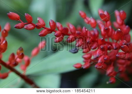 Red Inflorescence Of A Bromeliaceae Plant Species