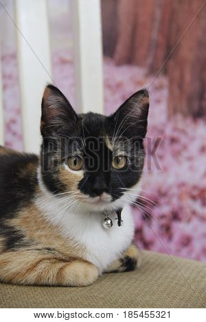 calico cat resting on a her paws