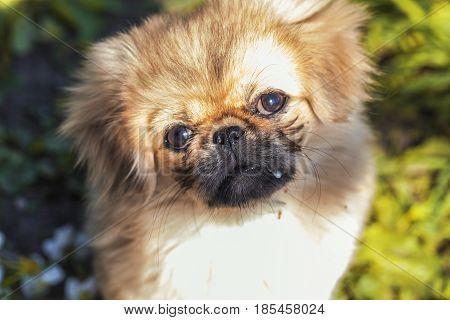 Beautiful Little Pekingese Puppy On Green Grass