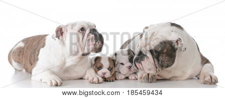 bulldog family with puppies isolated on white background