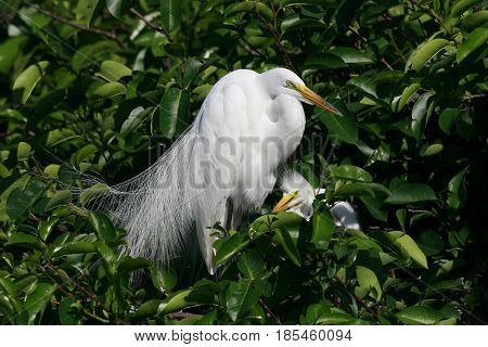 A Great Egret with chick at a rookery in Florida