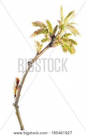 Spring branch of oak (Quercus rubra) with young reddish leaves and catkins isolated on white background
