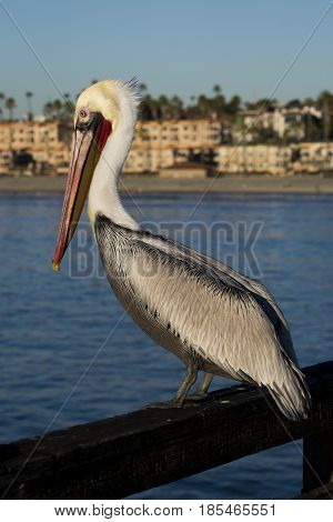 Pelican sitting on a pier railing in Oceanside California.