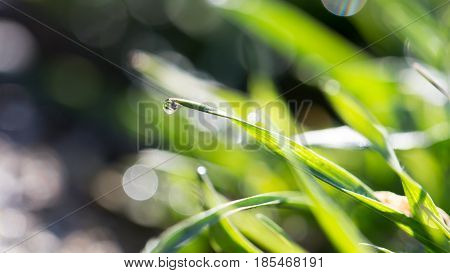 drops of dew on the grass . A photo