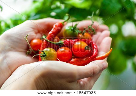 cherry tomatoes and chili peppers harvest in  palms close-up