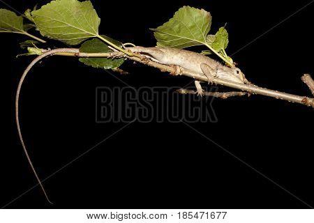 Chameleon , izard, Iguana, Gecko or Skink in Thailand : Sleep on Mulberry Tree.