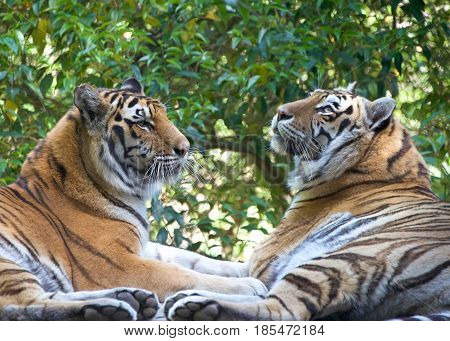 The tiger (Panthera tigris) is the largest cat species. Two tigers facing each other with trees in the background