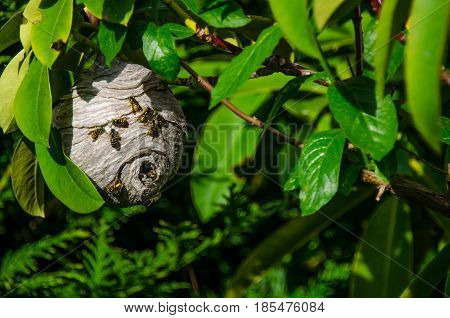 Paper Wasp nest hanging on tree branch