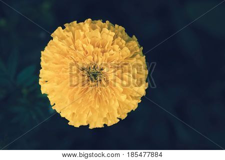 Marigolds (Tagetes erecta Mexican marigold Aztec marigold African marigold). Yellow marigold on flower garden. top view Marigolds.