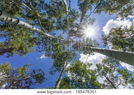 Green quaking aspen trees photographed against a blue sky and the sun with lens flare. Photographed in the Manti-Lasal National Forest in Utah.