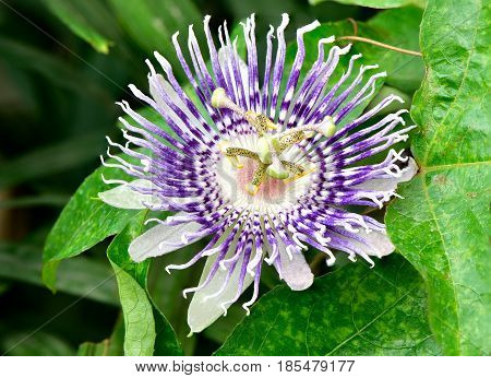 Violet exotic maracuja or passion fruit flower