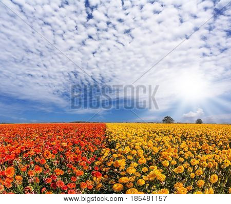 Wind drives the cirrus clouds. The bright southern sun illuminates the fields of red garden buttercups- ranunculus. Concept of rural and recreational tourism