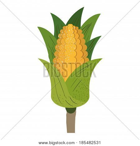 white background with corn cob with leaves and stains vector illustration