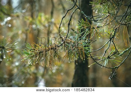 pine branch in the morning dew blurred background.