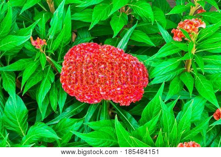 Closeup to Ball Shaped Bunch of Red Cockscomb/ Celosia Cristata