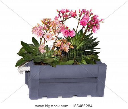 Lewisia Plants In A Grey Wooden Box.