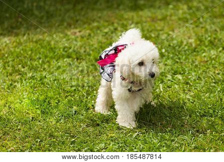 Cute Small Poodle Puppy Dog.