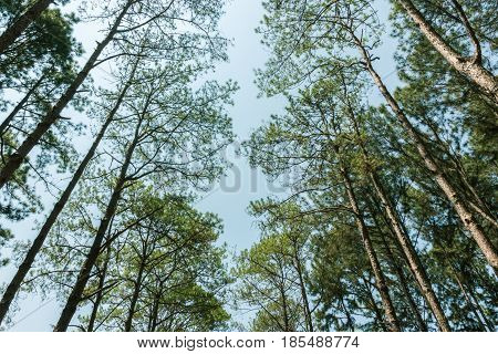 View under the shady and dark pine trees.