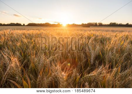 Golden field of barley crops growing on farm at sunset or sunrise
