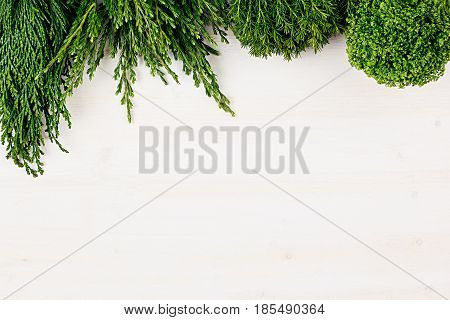 Fresh background of young green conifer branches as border with copy space on white wooden board background.