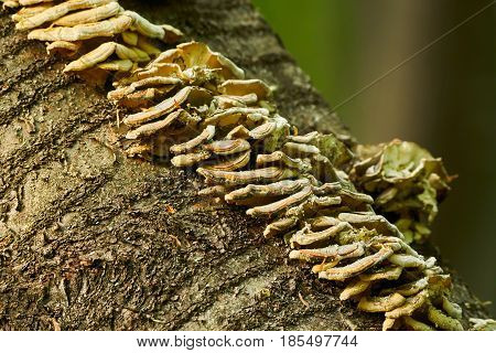 Mushroom Colony On A Tree