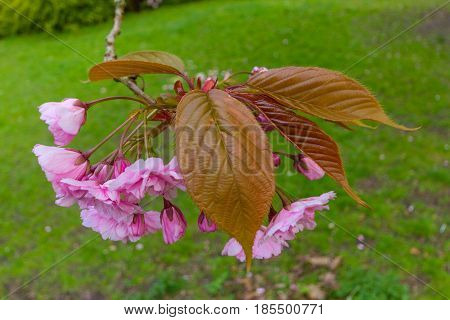 Blossoms And Leaves Of Kwanzan Cherry Tree, Jesmond Dene, Newcastle