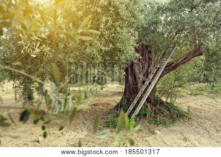 Old olive tree in Italy. Beautiful calm mediterranean landscape. Olive trees garden. Olive tree with stairs near it, harvesting time, sunset.