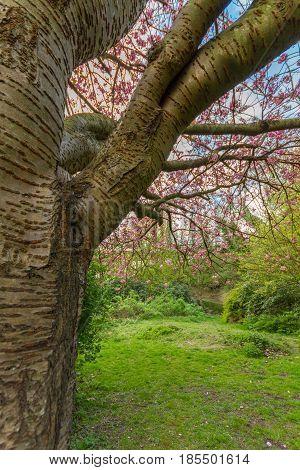 Trunk Detail Of Cherry Tree, Jesmond Dene Park, Newcastle, Uk