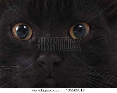 Cat eyes black fur. Cat with yellow green eyes
