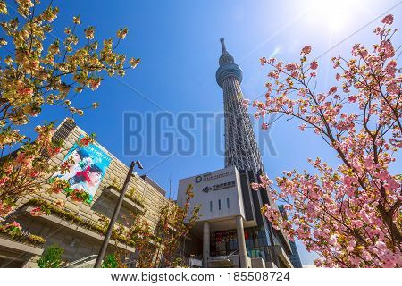 Tokyo, Japan - April 19, 2017: Tokyo Skytree with cherry blossoms in full bloom. Tokyo Skytree is the tallest tower in the world, broadcasting and observation tower in Sumida District. Blue sunny sky.