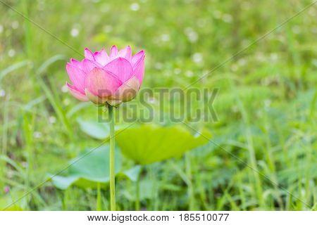 Pink lotus flower close up , nature