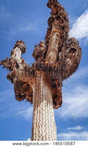 Dry Giant Cactus In The Desert, Argentina