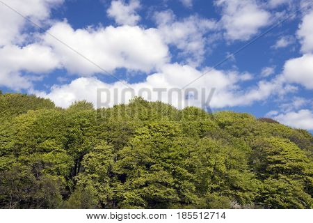 Early green Danish beech forest. Tree top with sky and clouds over.