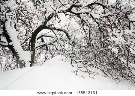 Spring Time - Tree In Snow