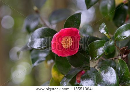 red Camellia flower on a beautiful lacquered leaves on blurred background and bokeh