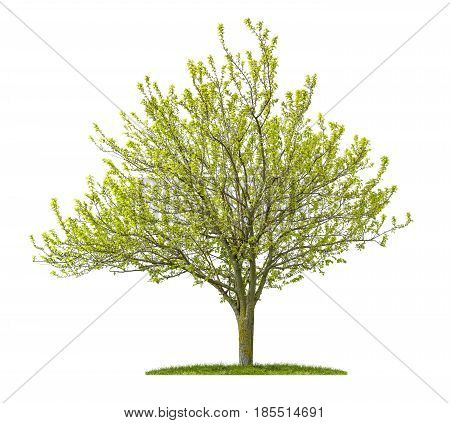 Isolated Golden Elm Tree On A White Background