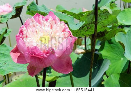 image of Pink water lily in garden pond