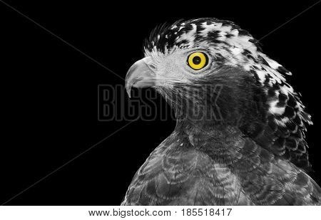 Black and white closeup of a crested serpent eagle, or Spilornis cheela, with isolated color on its yellow eye