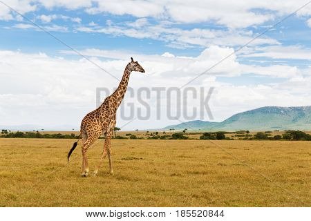 animal, nature and wildlife concept - giraffe walking along maasai mara national reserve savannah at africa